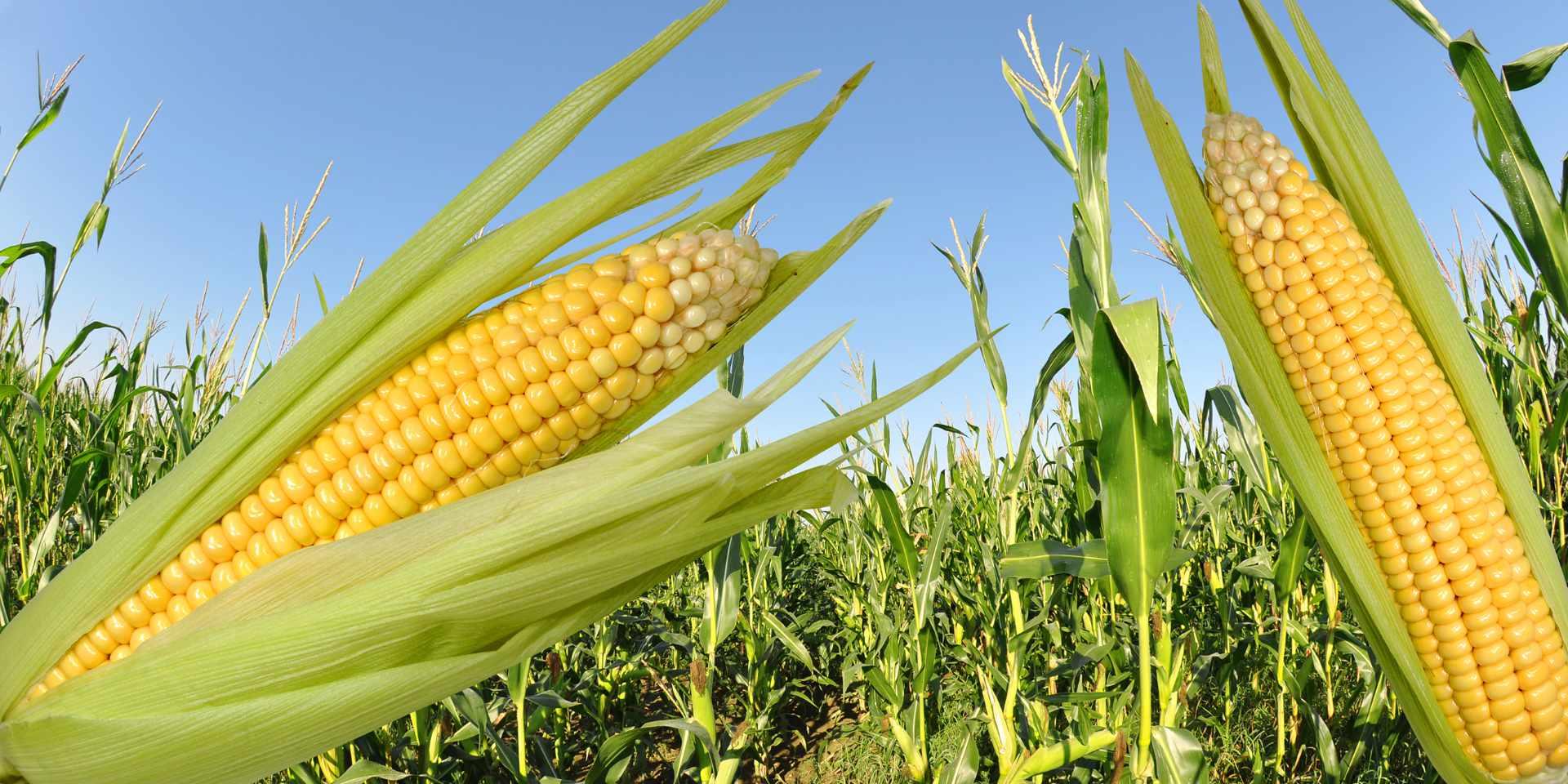 Corn,Field